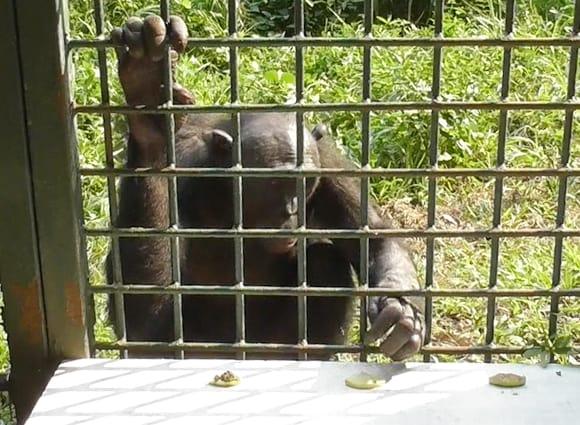 類人猿ボノボ、ふんなどで汚れた物は食べず 人間と同じ傾向