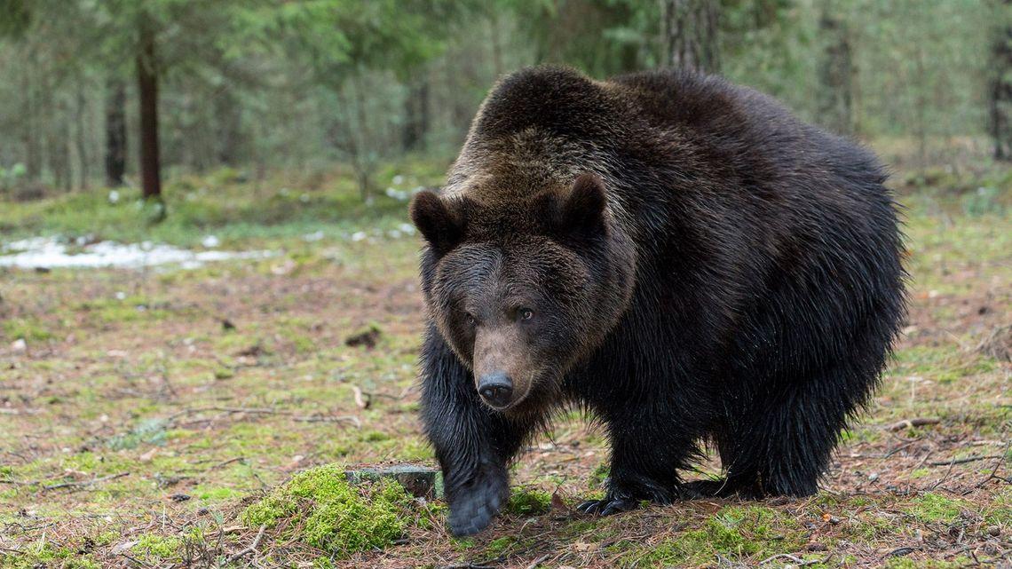 【恐怖】男性の遺体に残された獣毛「クマと異なる」 秋田の国有林で警戒続く