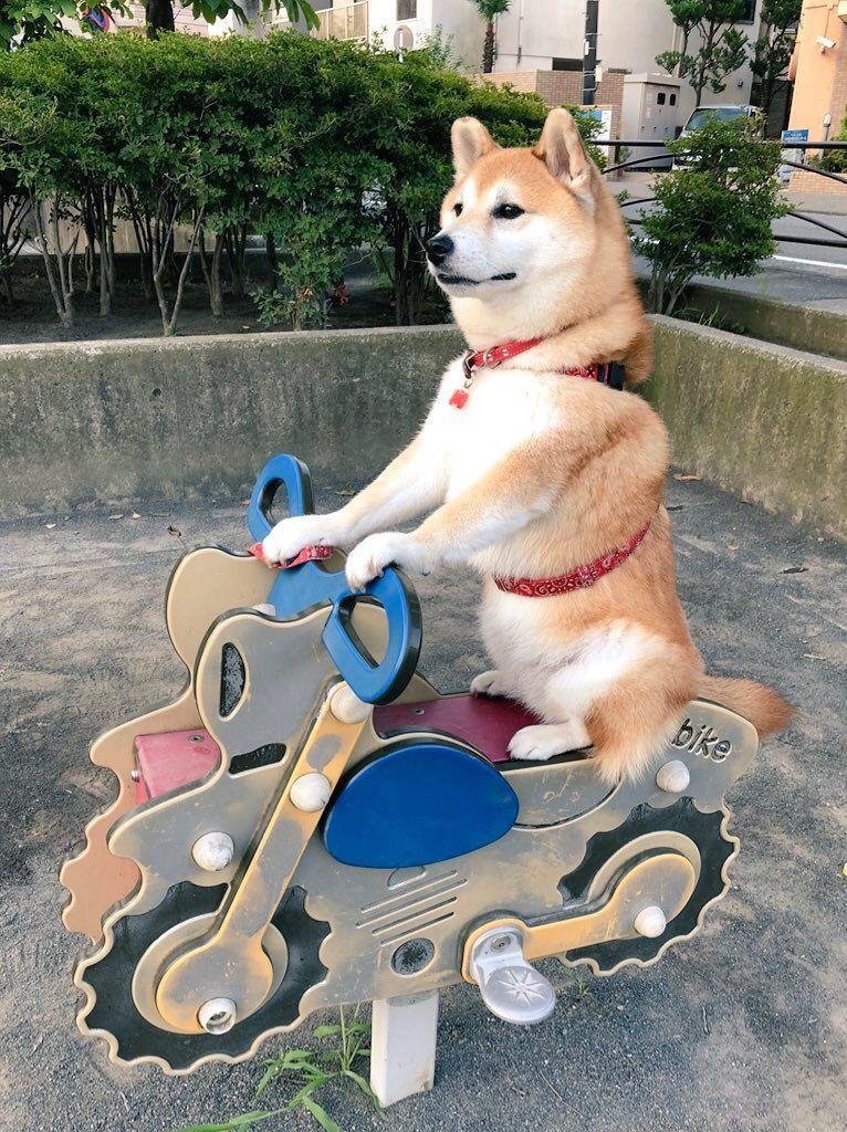 【朗報】バイクに乗る犬現るwwww