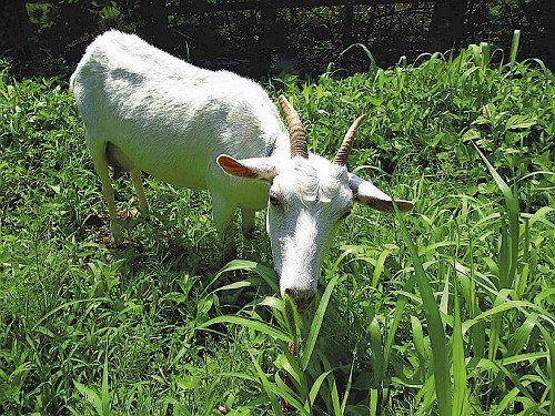 雑草食べるヤギ、草刈りに活用を…市が費用補助