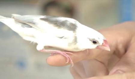 【朗報】弥富市資料館、文鳥を職員にして人気に