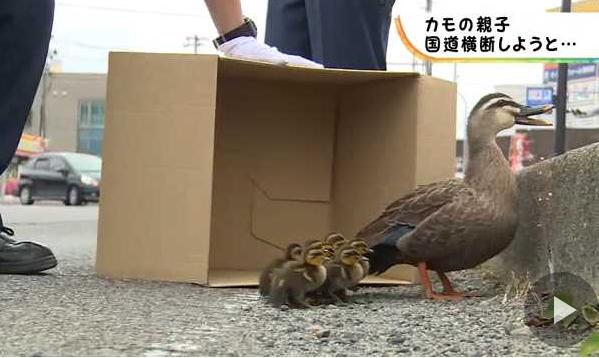【日本平和】カモの親子が国道を横断 警察官が誘導wwww