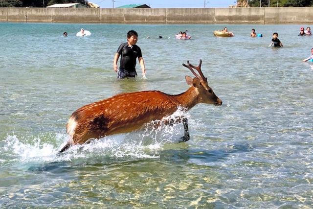 【驚愕】暑すぎて海水浴場に突如シカ乱入!京都・舞鶴、海水浴客びっくりwwww