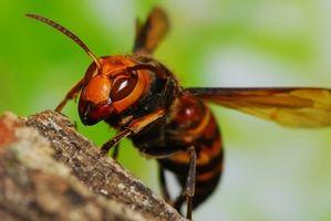 【画像】スズメバチとエンカウントした際の対処法を教えてくれ