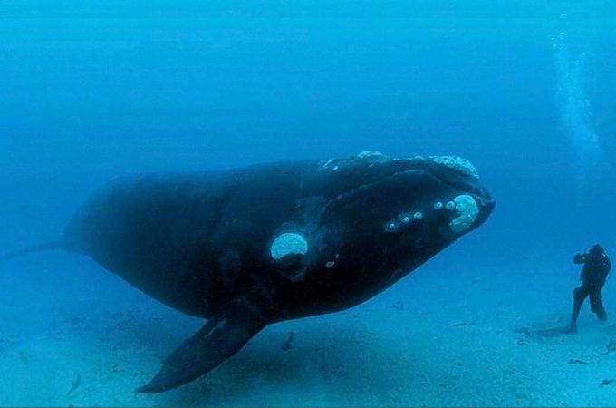 【超巨根】4メートルのペ○スを持つミナミセミクジラ 睾丸の重さはなんと1トン!!
