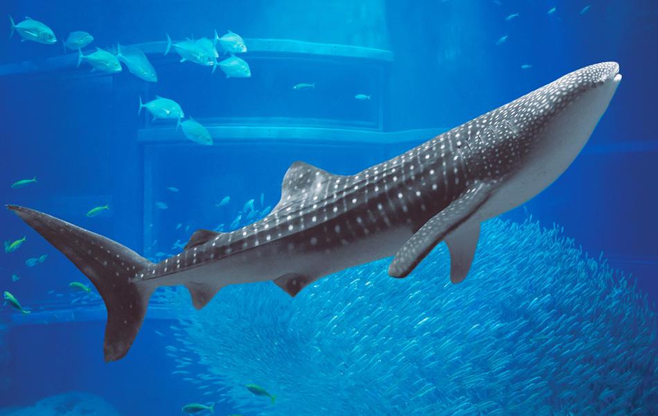 【驚愕】ジンベイザメの寿命はなんと130歳!最新の研究で判明