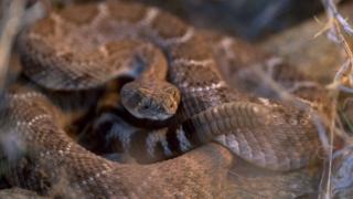 【驚愕】切り落とされたヘビの首が男性に噛みつき、男性瀕死 一週間生死をさまよう