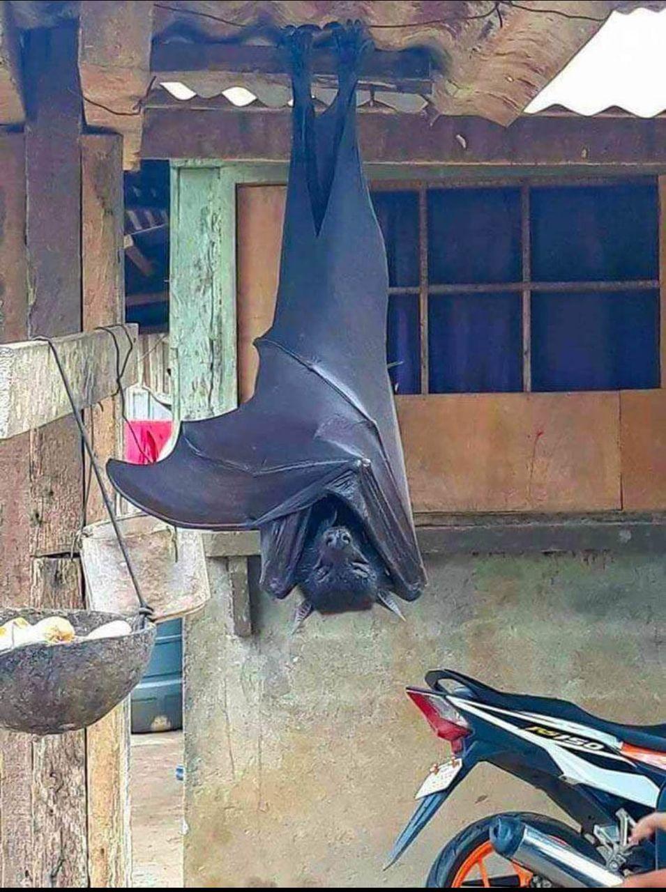 【画像】フィリピンのコウモリがガチでヤバイ!家帰ってこんなのがいたら泣くぞwww!!