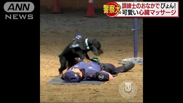 訓練士のおなかで ぴょん!警察犬「ポンチョ君」が心臓マッサージ あまりの可愛さに人気沸騰 再生回数280万回