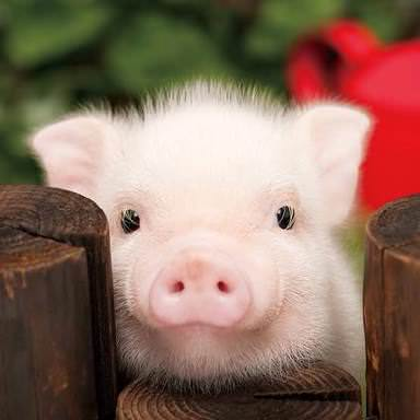 【衝撃】『怖い雑学』豚に殺される人間はサメより多い