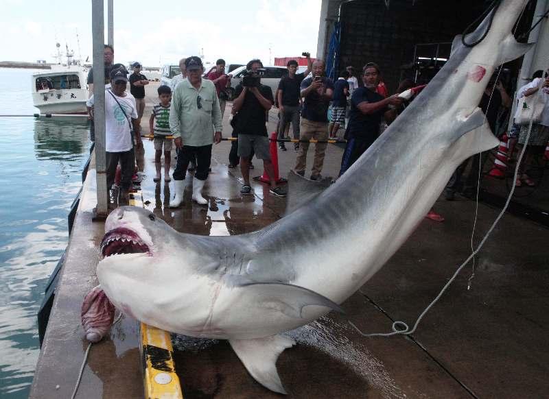 【画像】沖縄でサメ駆除 重さ500キロ超の巨大サメに驚きの声!!