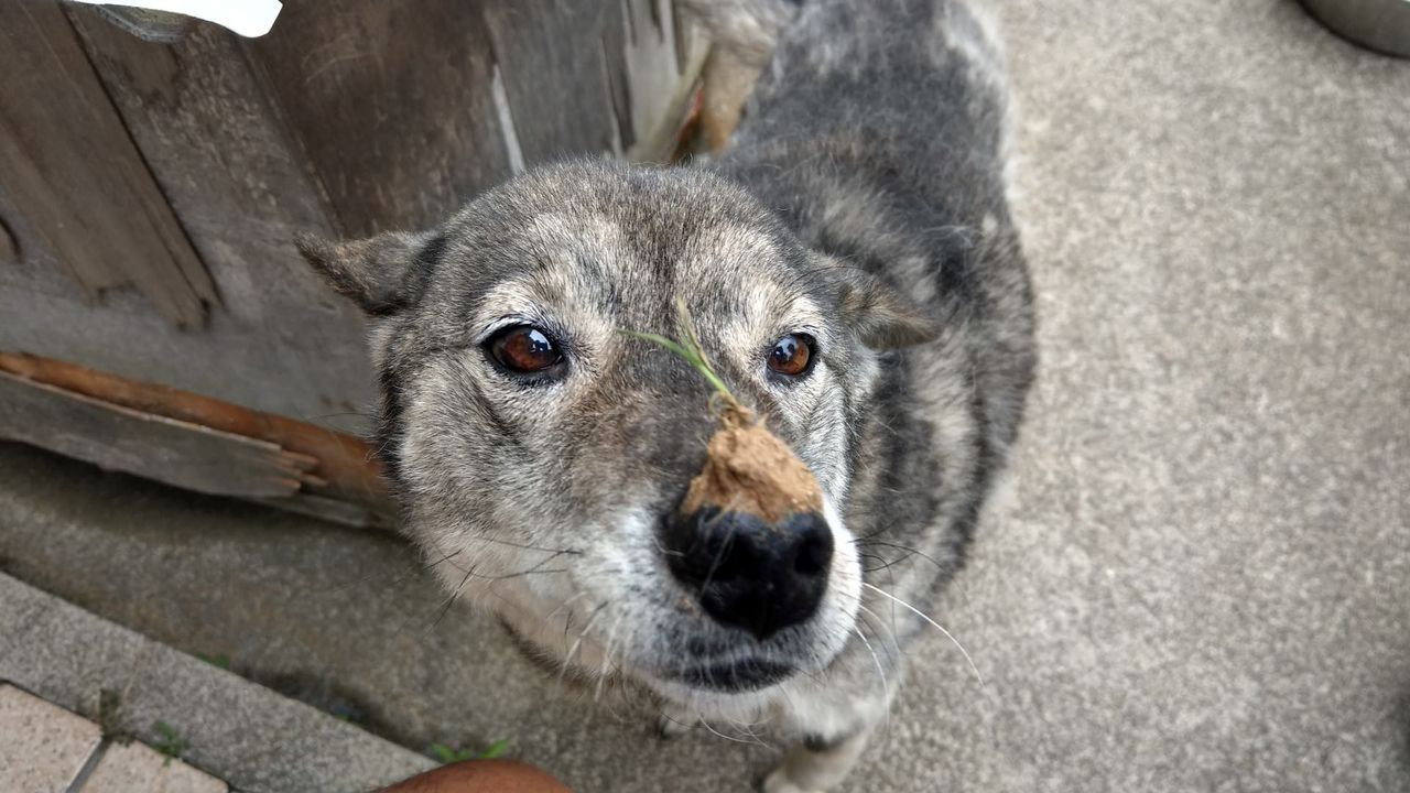【悲報】ワイの犬、鼻から草生えるwwwwww(*画像あり)