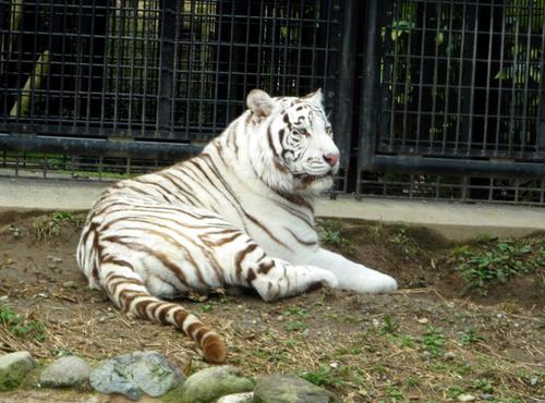 飼育員襲ったトラ、殺処分せず 遺族「飼育して下さい」