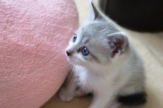 【悲報】東京・立川の猫カフェで「猫パルボウイルス」発生、5匹死ぬ 関東8店を臨時休業