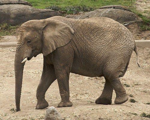 【衝撃】ゾウがガンになりにくい仕組みが科学的に明らかに!