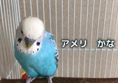 【動画】USAを歌うインコが発見されるwww カーモンベイビーアメリカ!!