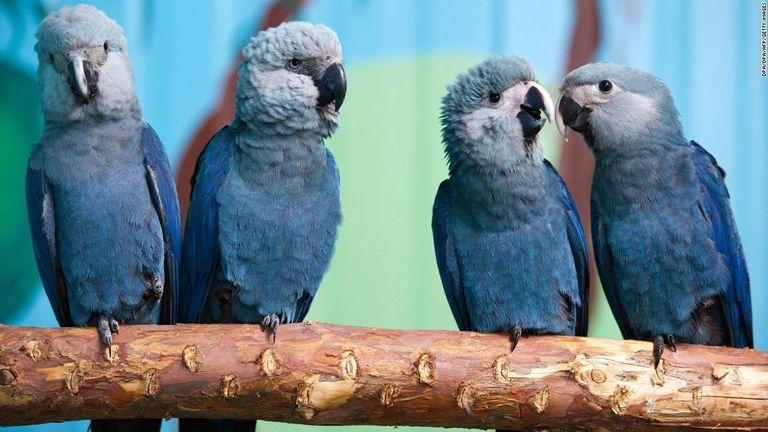 【悲報】青い鳥、絶滅 ブラジル