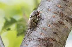 外国人「セミの鳴き声うるさい。休暇で来てるのに休まらない」フランスでは殺虫剤で殺そうとする人も