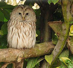 250px-Strix_uralensis_-Banham_Zoo%2C_Norfolk%2C_England-8a