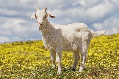 s_Domestic_goat_kid_in_capeweed