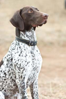 german-shorthaired-pointer3