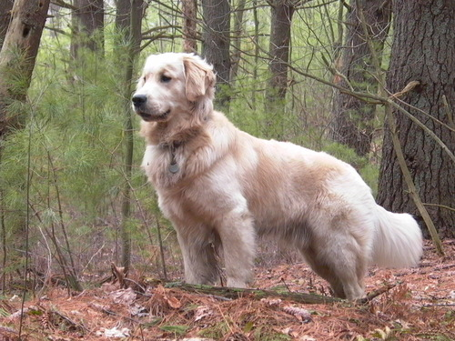 Golden_Retriever_standing_Tucker