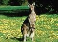 s_kangaroo-joey background