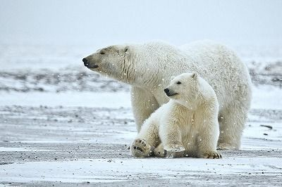 sPolar_Bear_ANWR_1