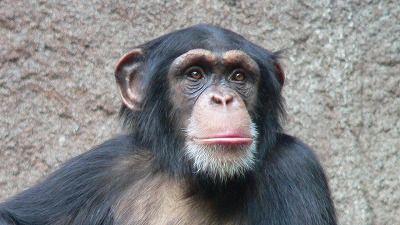 sSchimpanse_Zoo_Leipzig