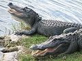 s_Hot-gators-Oasis-credit-to-Shirey