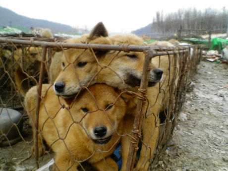 KOREAS-DOG-MEAT-INDUSTRY-2
