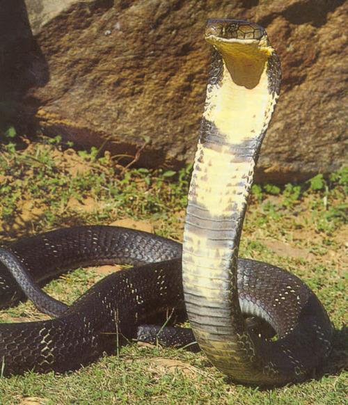 king_cobra