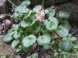 春咲きユキノシタ
