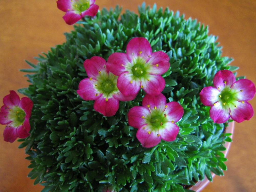 この記事をクリップ! 雲間草と水仙春を感じさせてくれる花です。雲間草は、とってもカワイイのです.
