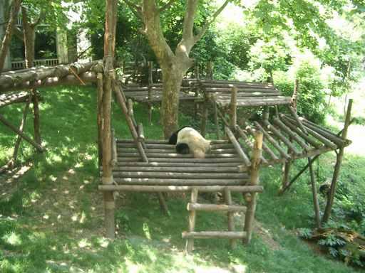屋外のパンダ
