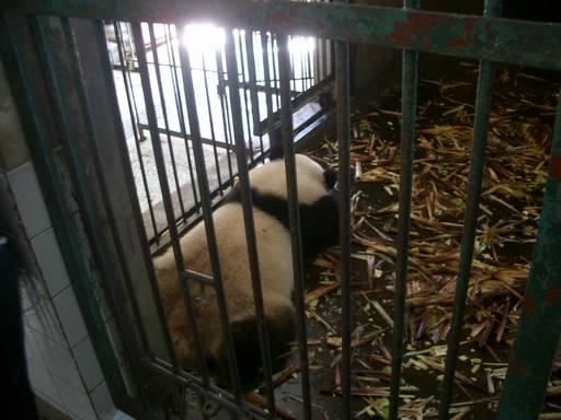 屋内のパンダ