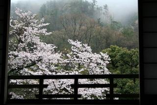 南天苑の桜はただいま三分咲き…♪