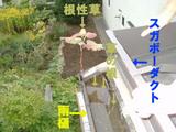 雨樋の根性草
