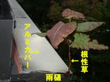 雨樋の根性草−2