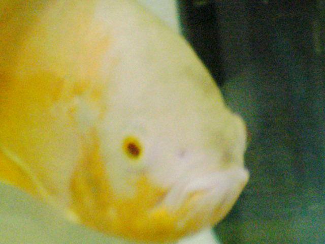 2011-6月頃、熱帯魚 (5)