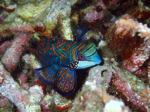 mandarinfish-2336895_640