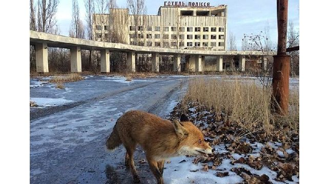事故から30年、廃墟と化したチェルノブイリ周辺で生きる野生動物たちを撮影した写真17枚