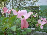 Cornus花
