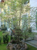 Cornusの木