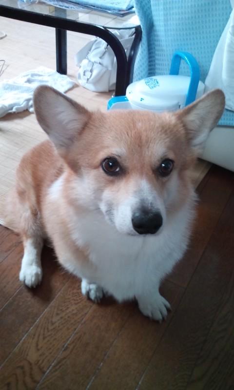 柴犬より可愛い犬種って存在するの-102