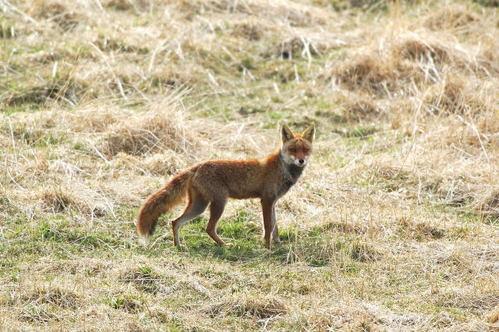 狐の画像ください-122_2