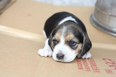 柴犬より可愛い犬種って存在するの-070_6