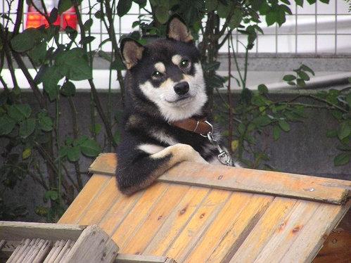 柴犬より可愛い犬種って存在するの-062_4