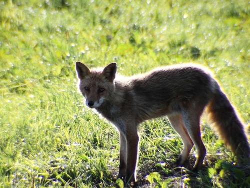狐の画像ください-104_3