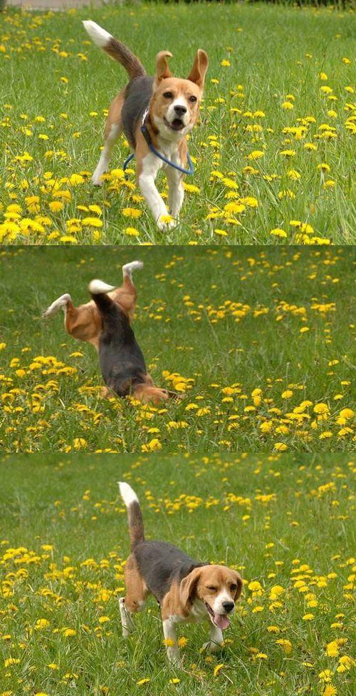 柴犬より可愛い犬種って存在するの-077